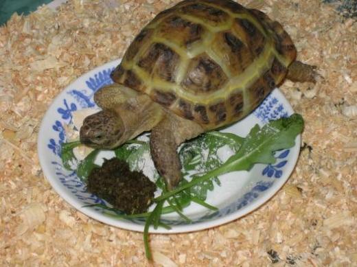 Как кормить маленькую водную черепаху в домашних условиях - Opalubka-new.ru