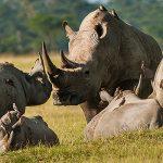Кто такой носорог?