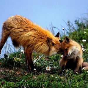Как лиса заботится о своем потомстве?
