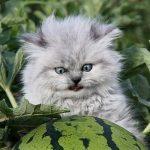 Как объяснить коту что он не будет жрать арбуз