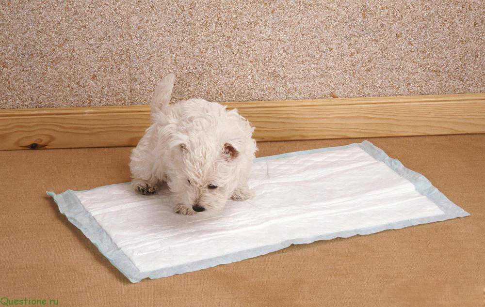 Собаку небольшой породы, такие как Чихуа Хуа, Той Терьер, Шпиц, Йоркширский Терьер, Мопс и т.д., можно приучить ходить в туалет просто на пеленку.