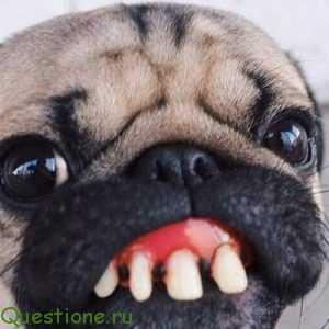 Почему у мопса воняет изо рта?
