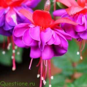 Фуксия - цветок эльфов. Как вырастить в домашних условиях?